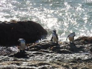 Bettys Bay, Penguins (12) - Copy