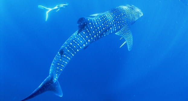 Swimming-with-a-whale-sharks-in-the-Ningaloo-Marine-Park.jpg-x