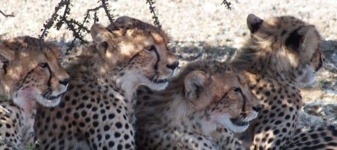 leopardsinsouthafrica